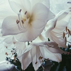 weiße_amaryllis.jpg