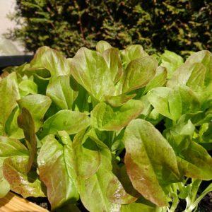 Salat in der Maurertonne