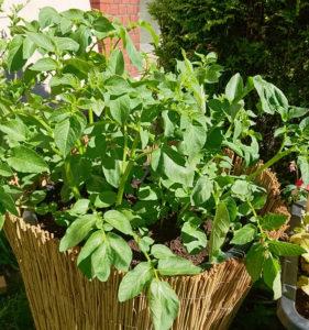 Kartoffeln in der Maurertonne